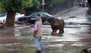 <p><strong>Хипопотами обикалят свободно улици</strong> в колумбийски град</p>