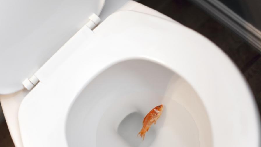 Канадците бяха предупредени да не давят златните си рибки