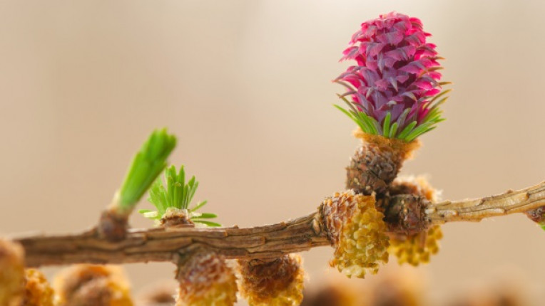 цветя бах Лиственица