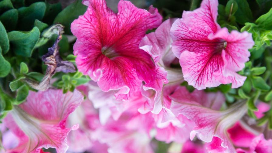 Цветя изпускат аромат по разписание, диктувано от гените им