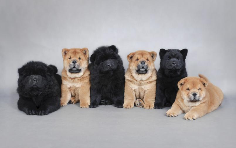 Кученца от породата чау чау