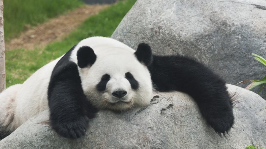 Защо пандите изглеждат мързеливи?