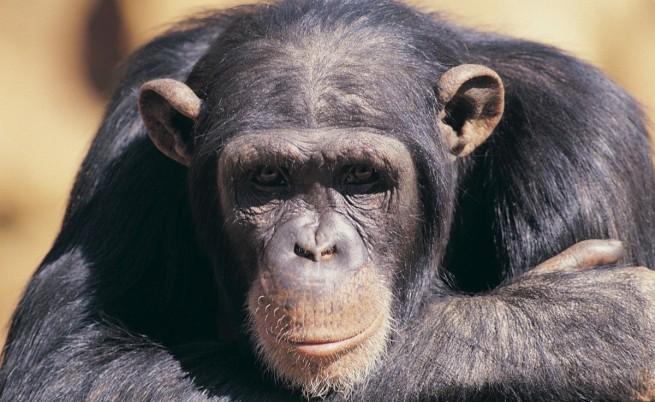 Свързаха мозъци на маймуни с компютър