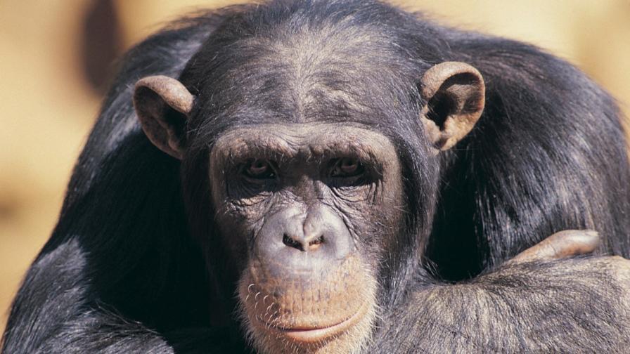 Най-самотното шимпанзе на света: Понсо