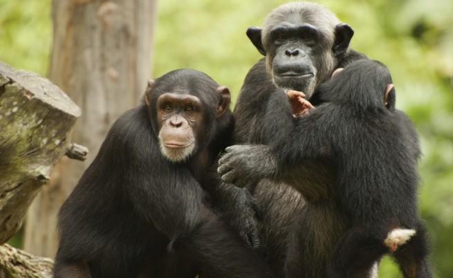 """Глад заплашва """"Планетата на маймуните"""" в Либерия"""