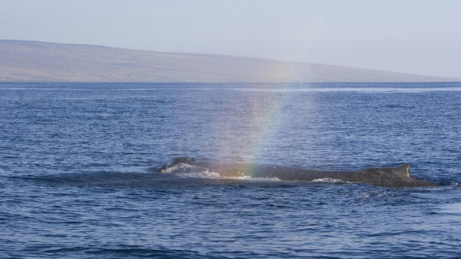 Гърбат кит създаде дъга (видео)