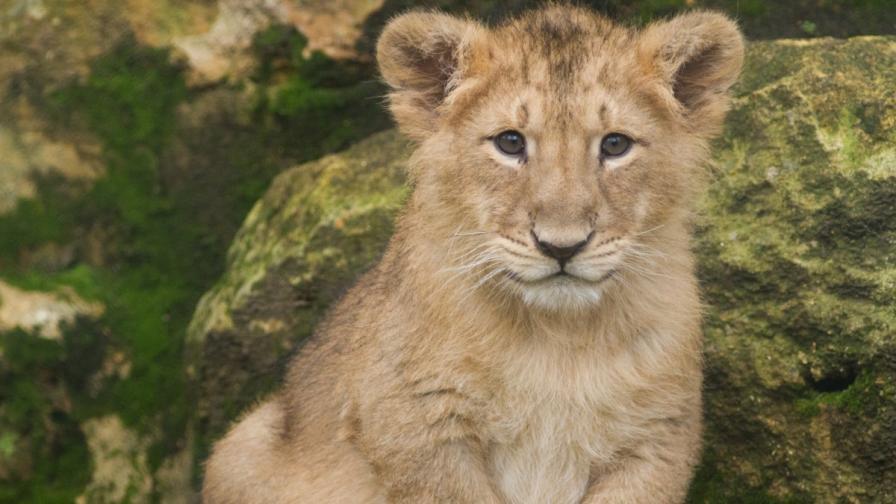 В Индия се родиха 11 лъвчета от застрашен вид (видео)