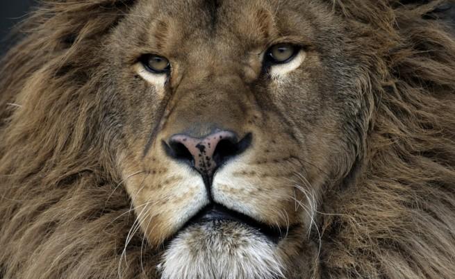 Мъж пресъздаде библейски пасаж, хвърли се при лъвове