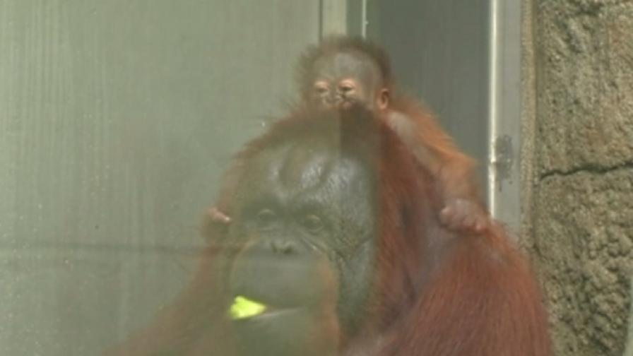 Бебе орангутан зарадва зоопарка в Толедо