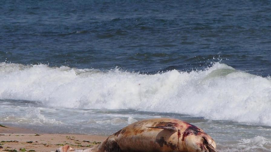Защо морето изхвърля толкова много мъртви делфини?
