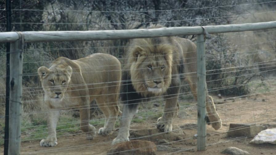 Лъвица и лъв във ферма за лъвове