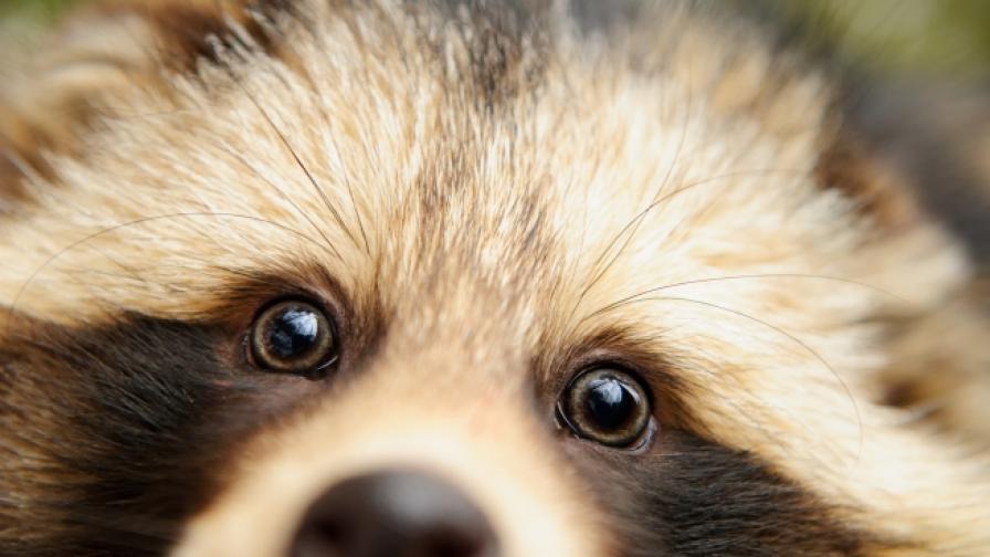 Запознайте се с Пъмпкин: Енот, който се мисли за куче