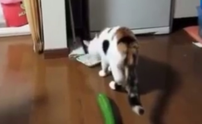 Колко страшна е една краставица за котките?