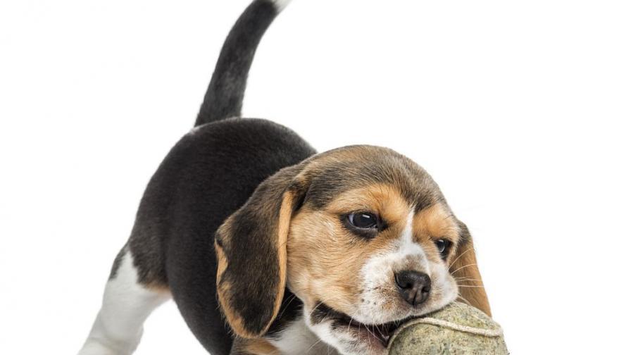 Успешно ин витро оплождане на кучета за пръв път