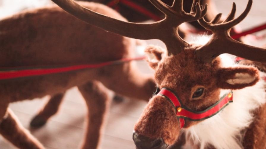 Откриха защо носът на елена Рудолф е червен