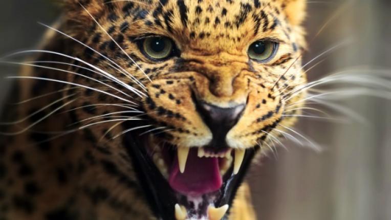 леопард диво