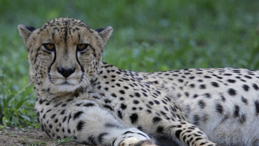 Гепардите са заплашени от изчезване