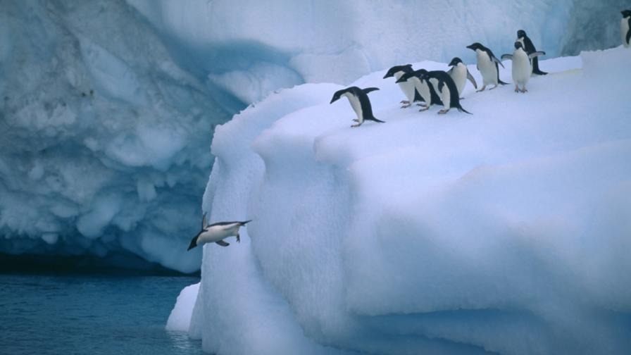 Пингвини адели