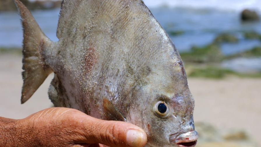Хищната риба, хранеща се с тестиси, заплашва и Острова