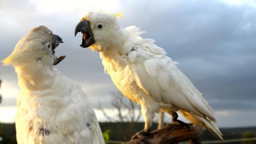 Папагалите също могат да вдигат скандали