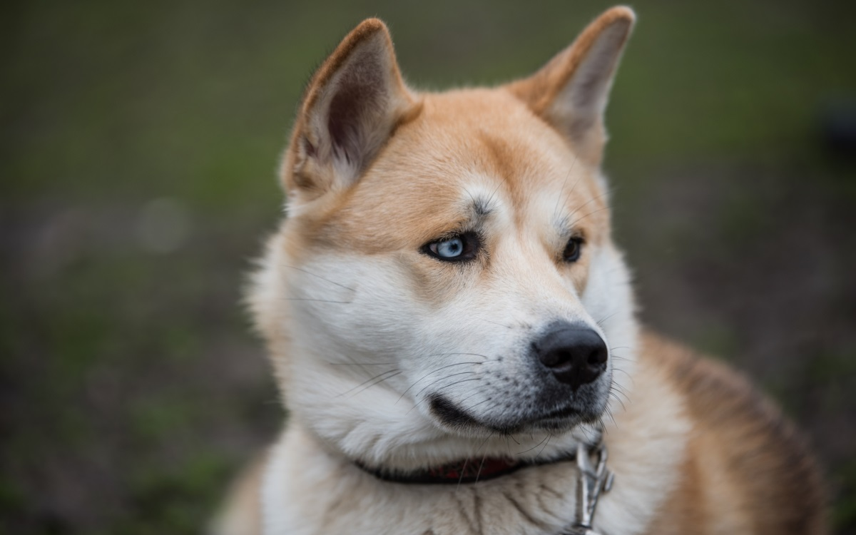 <p><strong>Акита</strong></p>  <p>Тази японска порода може да е ваша за минимум 3500 долара. Това е силна, доминираща и независима порода, която обикновено страни от непознати и е по-привързана към членовете на семейството. Това обикновено са издръжливи кучета, но е известно, че страдат от различни генетични заболявания и са чувствителни към определени лекарства.</p>