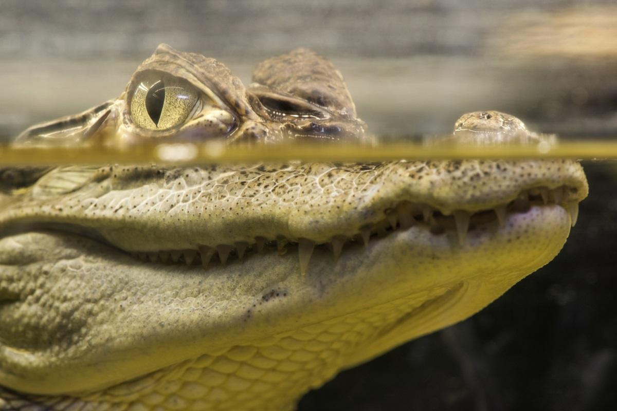 Крокодилите не остаряват.Тези животни не трябва да се мажат с кремове за стотици левове, за да останат вечно млади. Не са безсмъртни, но ако избягват нараняванията или болестите, могат да живеят повече от един век.