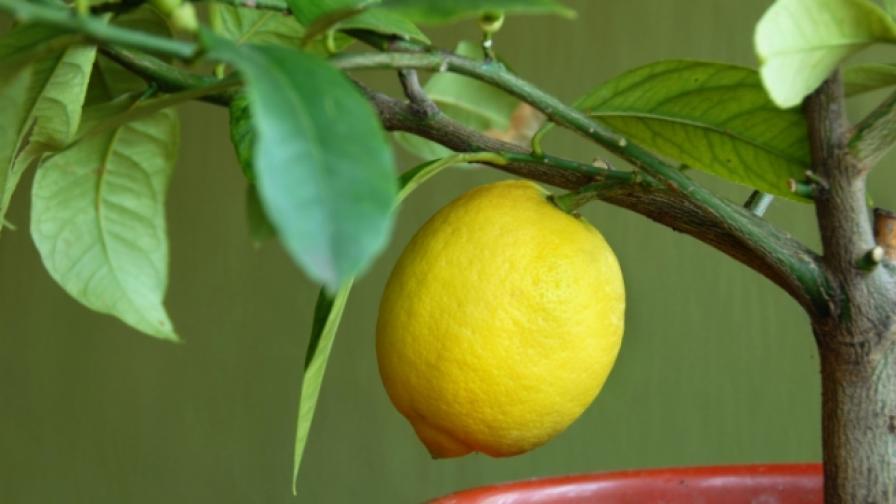 Връщаме на Турция опасни лимони