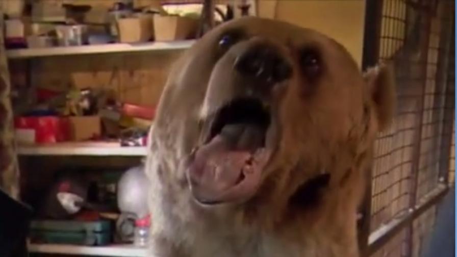 Руската мечка като домашен любимец