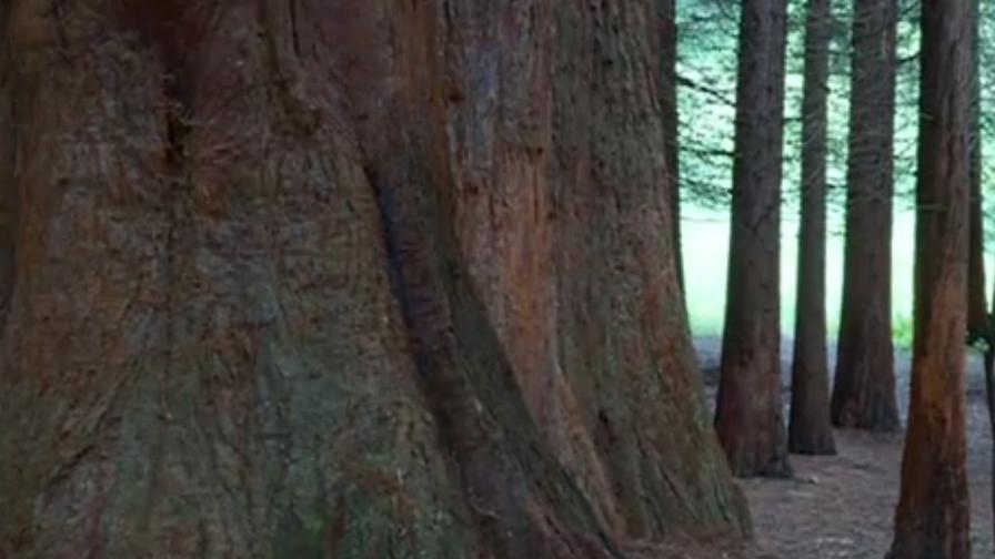 Гора от гигантски секвои расте край Кюстендил