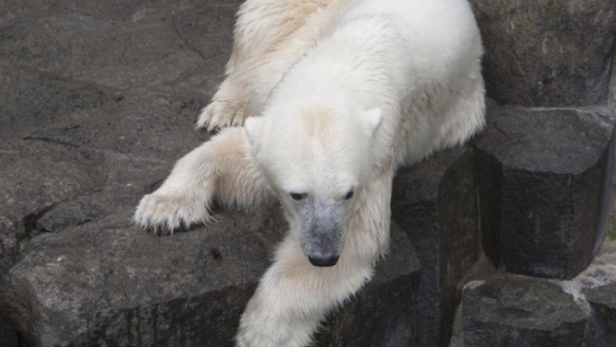 Почина най-тъжният мечок в света