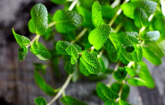 <p><strong>Мента (Mentha)</strong></p>  <p><strong>Ментата е богат източник на витамин А, оказва благоприятно въздействие за дишане, храносмилане, гадене, главоболие и др.&nbsp;</strong>От нея се извличат етерични масла и като маслодайна култура е от голямо значение за селското стопанство.</p>  <p><strong>Отглеждане:&nbsp;&nbsp;</strong>Многогодишно тревисто растение.&nbsp;<strong>Имайте&nbsp;предвид, когато аранжирате, че тази билка бързо се сгъстява и завладява нови пространства и може да задуши всичко наоколо.</strong>&nbsp;Изрежете листата преди зимата, за по-обилен цъфтеж на следващата година. Други билки от този род е &bdquo;джоджен&ldquo; и &bdquo;черна мента&ldquo;.</p>