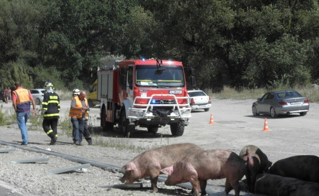 Румънски ТИР се обърна - разпиля прасета на пътя