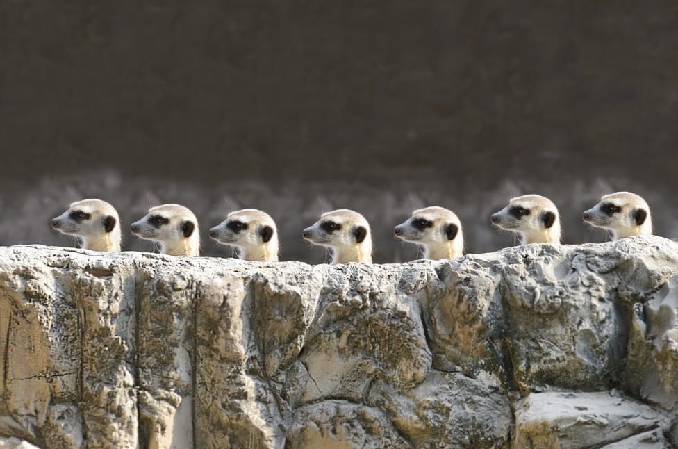 - Испански учени анализираха поведението на 1000 бозайници и установиха, че сред тях сурикатите най-често убиват представител на собствения си...