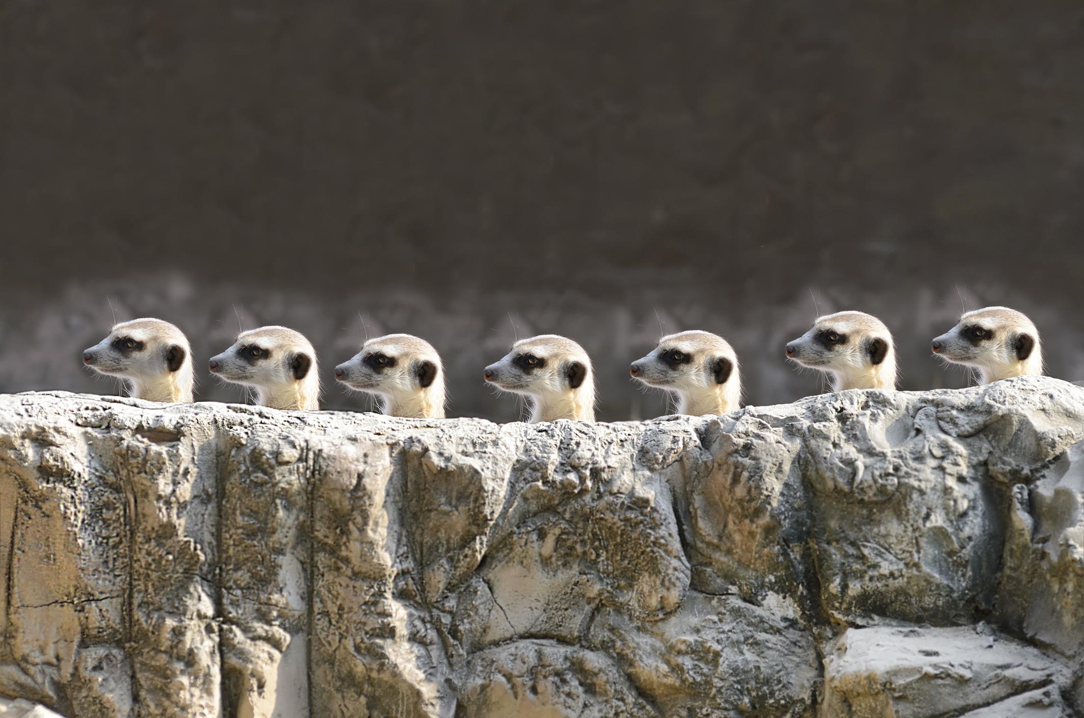 Испански учени анализираха поведението на 1000 бозайници и установиха, че сред тях сурикатите най-често убиват представител на собствения си вид.Известно е, че тези иначе симпатични животни, които живеят на групи до 50 в пустините Калахари и Намиб, убиват собствените си малки.