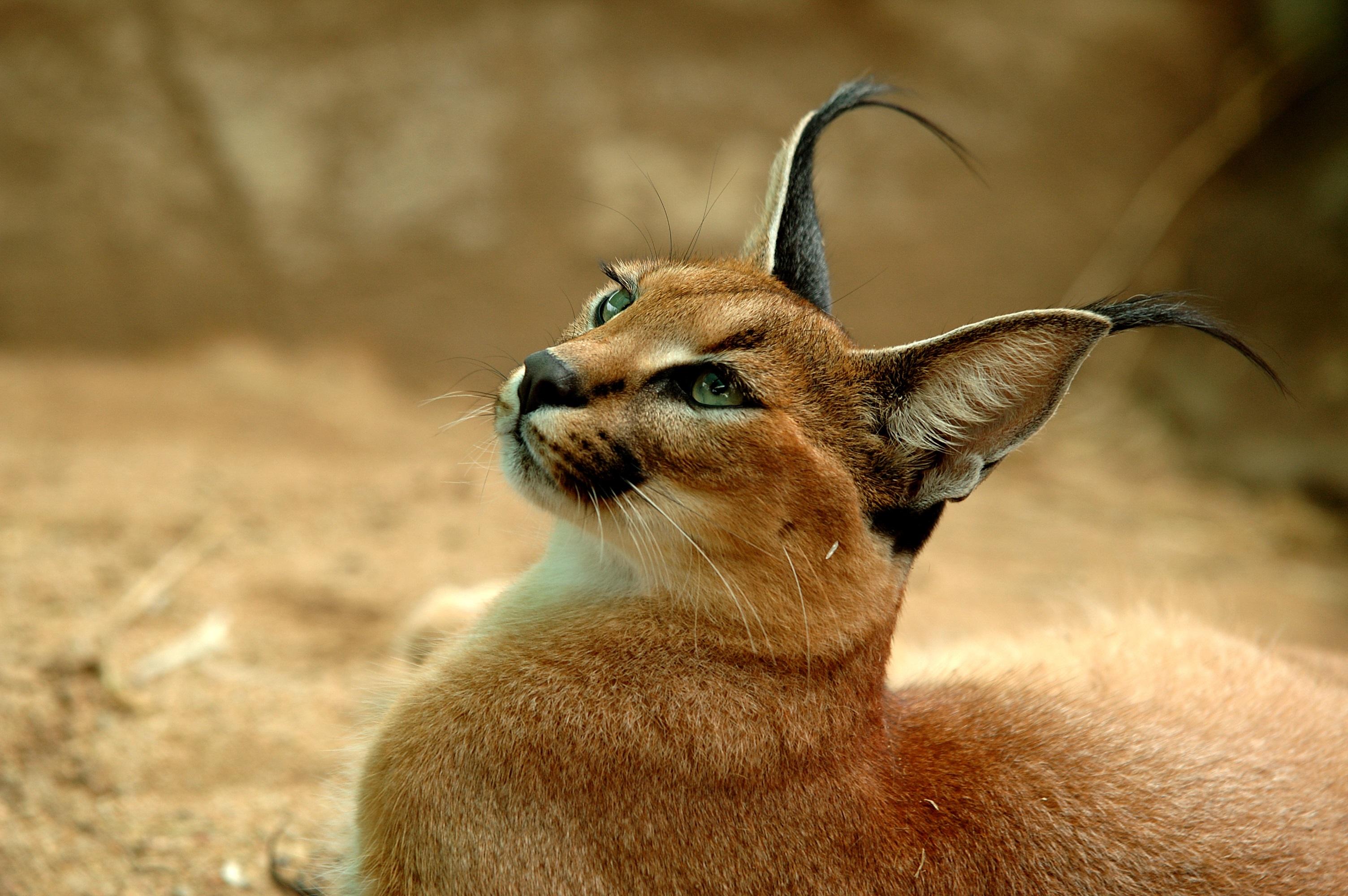 Каракал Каракалът е средна по размер дива котка, която живее в Африка, Близкия изток, Персия и Индийския субконтинент. Някога е използван в Иран и Индия за лов на птици. Каракалът притежава красиви тъмни снопчета косми на върха на ушите им. Все пак не пресичайте пътя им. Каракалите са извесни като едни от най-сърдитите и съскащи диви котки в света.