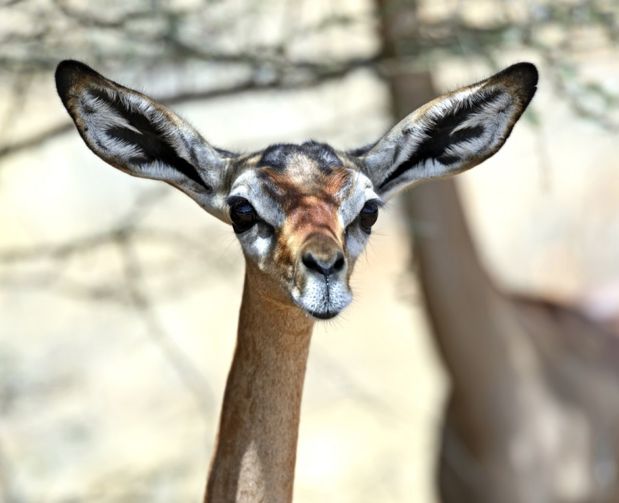 - Геренук Геренукът е антилопата с най-дълъг врат в света. Намерени в региона на Африканския рог, името им означава жирафски врат на сомалийски...