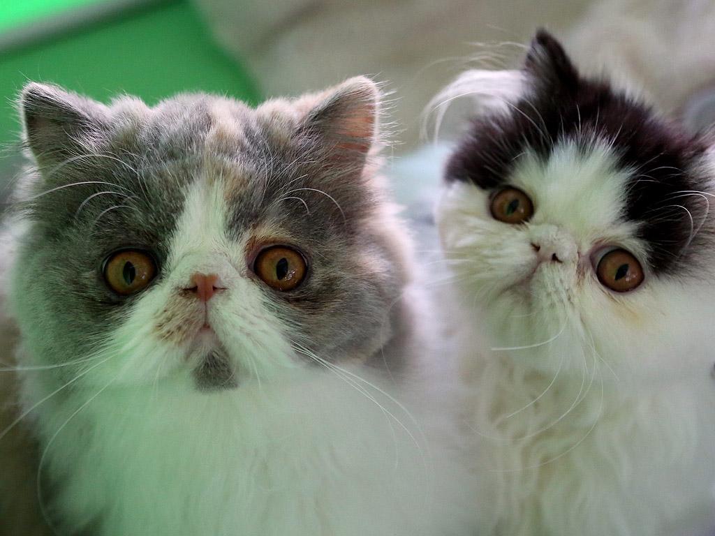 Персийски котки
