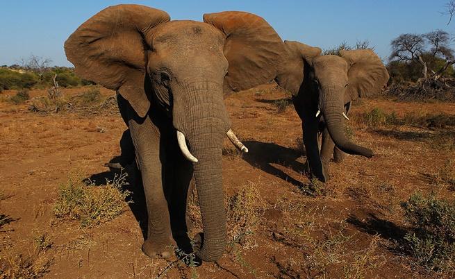 Бракониерите избиват хиляди слонове годишно и променят естествения ход на природата