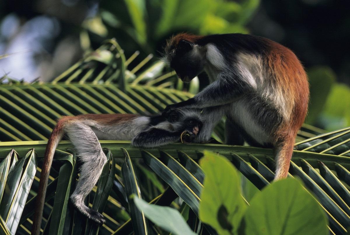 Узунгвански червен колобус