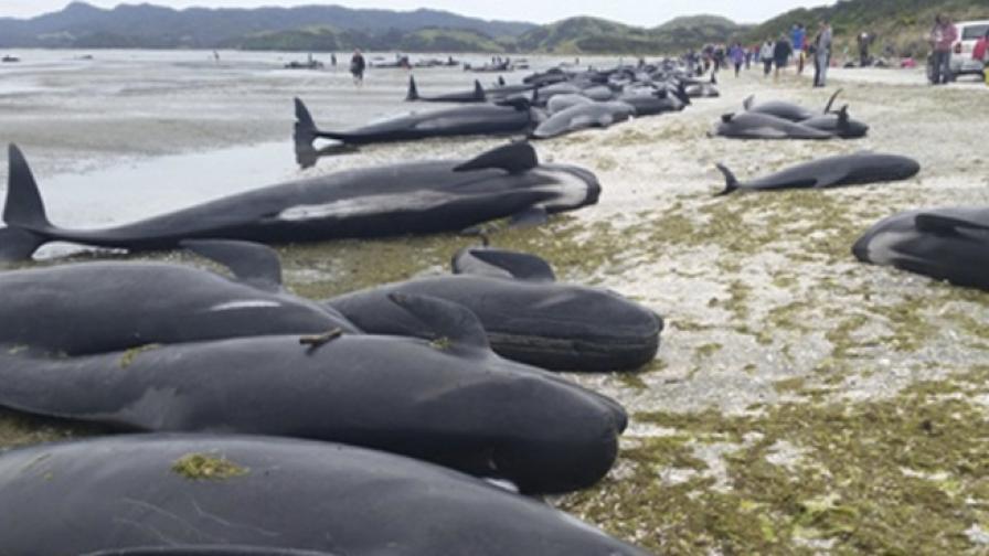 Още над 200 кита заседнаха на плаж в Нова Зеландия