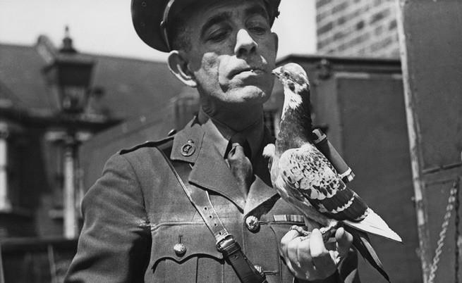 британски военен гълъб за пренасяне на съобщения