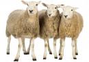 """""""Тъпа овца"""" вече не може да бъде обида"""
