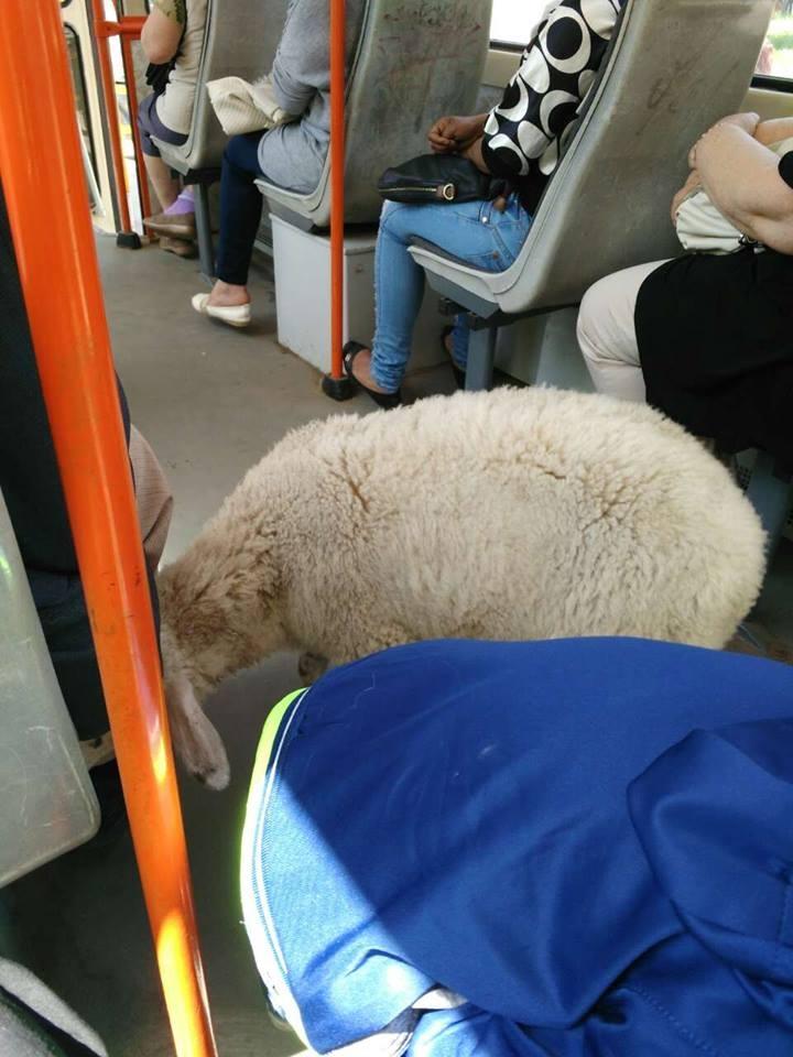 Това не е първият случай на животно в градския транспорт, виждали сме много кучета, котета и всякакви домашни любимци, но селскостопанските животни досега оставаха в сянката им