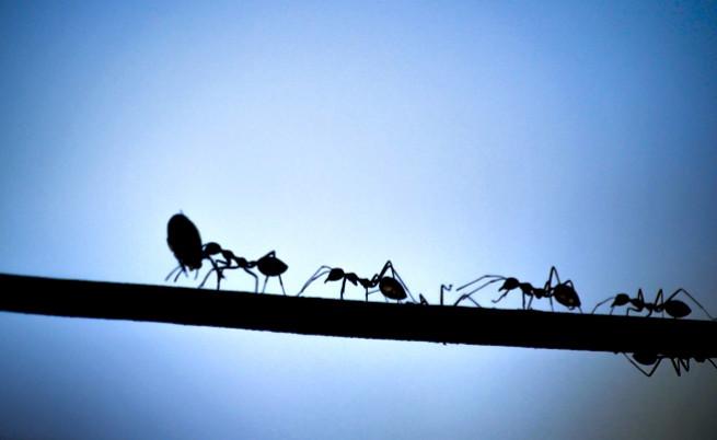 Учени за пръв път наблюдаваха мравки Т. рекс, открити преди 20 г.