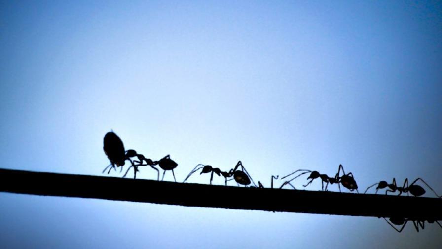 Учени за пръв път изследваха мравки канибали