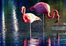 Учени откриха защо фламингото стои на един крак