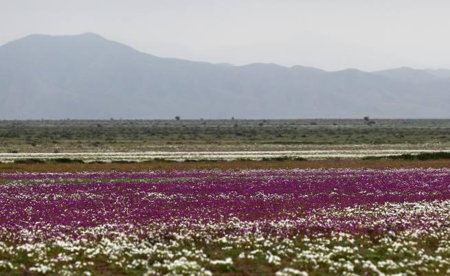 България като Африка, а най-сухата пустиня разцъфтя