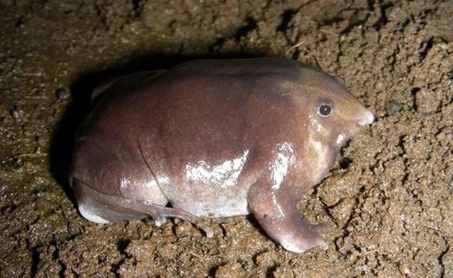 Откриха нов странен вид жаба, която прилича на прасе
