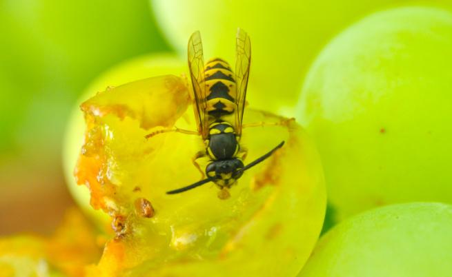 Защо осите не правят мед