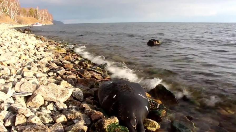 Мистерия с масова смърт на тюлени в Байкал